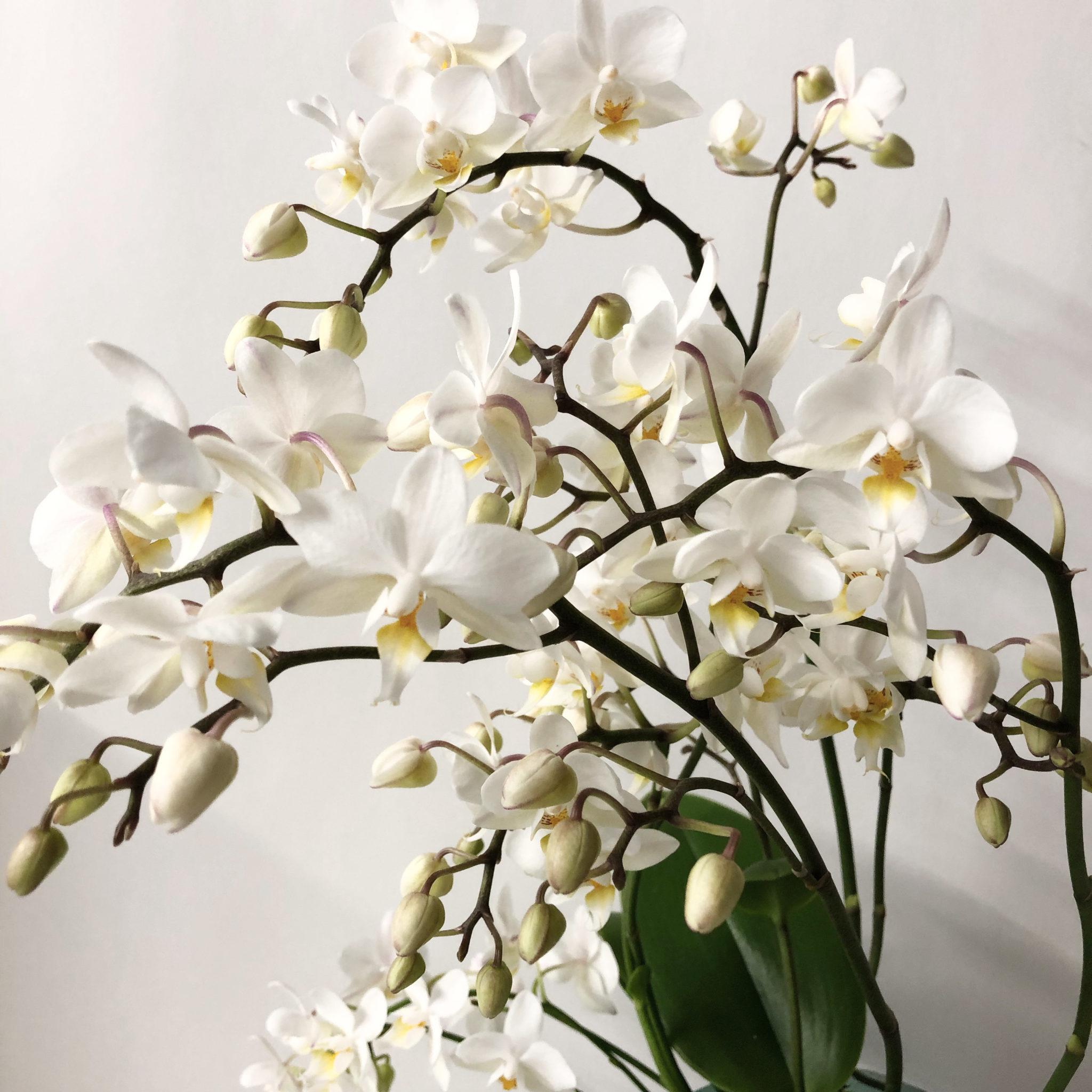 orchid e blanche plante tropicale l gante et raffin e. Black Bedroom Furniture Sets. Home Design Ideas